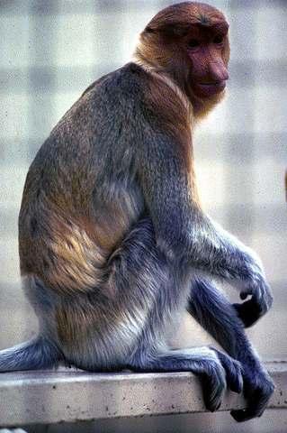 IMAGE(http://www.rps.net/QS/Images/SA/monkeys/proboscis3.jpg)